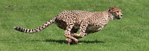 GC Sponsor cheetah